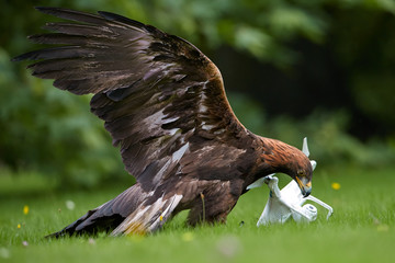 Golden eagle, Aquila chrysaetos against white drone quadcopter. Drone hunter, bird of prey with quad copter in claws. Copter catched by eagle. Falconry training  for airfield protection against drones