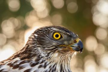 Portrait of bird of prey. Northern goshawk, Accipiter gentilis, young bird with bright yellow eyes  against nice golden, abstract circular blur bokeh. Highlands, Czech republic.