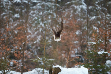 Northern Goshawk, Accipiter gentilis, bird of prey very fast flying directly at camera in european winter forest.  Animal action scene.