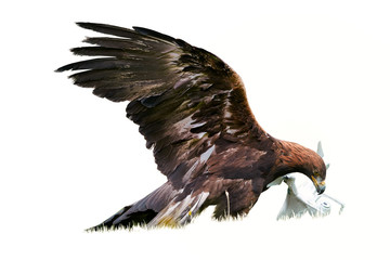 Garden Poster Eagle Isolated on white background, Golden eagle, Aquila chrysaetos with drone quadcopter in claws. Falconry training for airfield protection against drones. Drone hunter, white copter catched by eagle.