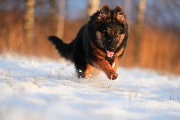 Bohemian shepherd, Canis lupus familiaris, purebred rescue dog on snowy field against setting sun. Low angle photo. Active dog on snowy field. Dog breed native to Czech republic.