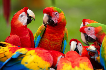 Group of wild Ara parrots, Ara macao and hybrids of Scarlet Macaw and Great green macaw, portrait photo of colorful amazonian parrots in a group, feeding on fruit. Costa rica