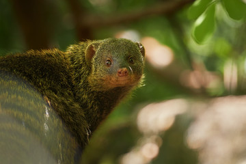 Close up portrait of Banded mongoose, Mungos mungo.  Small african carnivore in green forest of Amboseli, Kenya