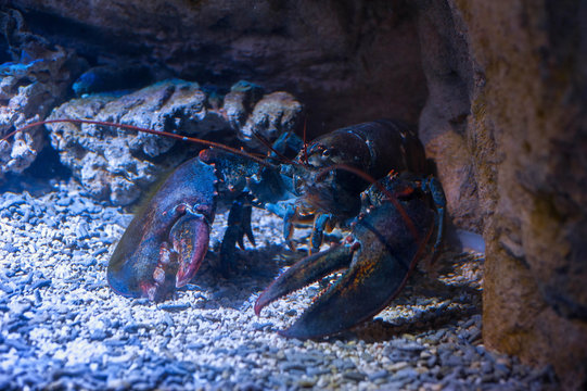 Big lobster under water