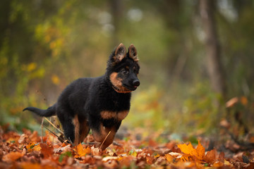Low angle photo of Bohemian shepherd puppy, 3 months old, purebred, with typical marks, running on the lawn. Young, black and brown puppy in autumn forest. Dog breed native to Czech republic.