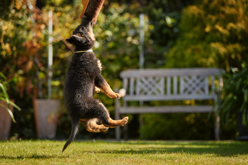 Low angle photo of Bohemian shepherd puppy, 2 months old, purebred, with typical marks, running on the lawn. Young, black and brown puppy on a family garden. Old dog breed native to Czech republic.