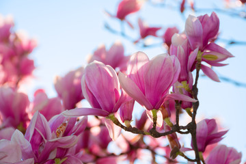 beautiful pink blossom of magnolia tree. wonderful spring background. flower close-up
