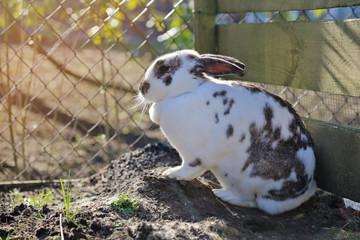lapin de compagnie tacheté bicolore dans enclos particulier