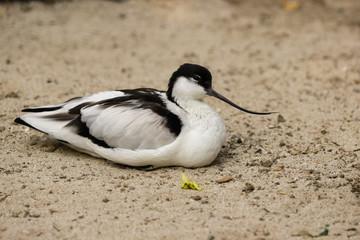 View of Pied Avocet (Recurvirostra avosetta) black and white waterbird