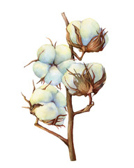 Dry fluffy white cotton flowers on a branch (also known as upland cotton or Mexican). Hand drawn watercolor painting illustration isolated on white background.