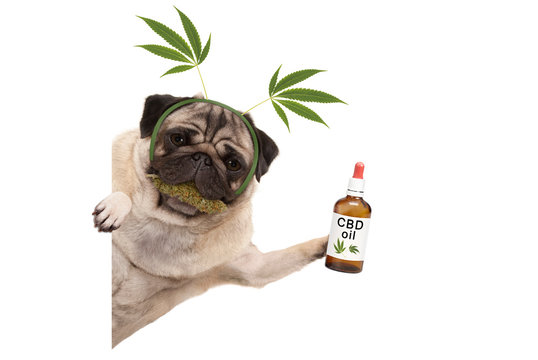 cute smiling pug puppy dog holding up bottle of CBD oil, wearing marijuana hemp leaf diadem, chewing on cannabis flowers. isolated on white background