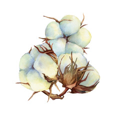 Composition with dry fluffy white cotton flowers (also known as upland cotton or Mexican). Hand drawn watercolor painting illustration isolated on white background.