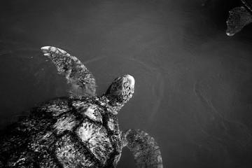 Printed kitchen splashbacks Butterflies in Grunge Black and white images of wildlife