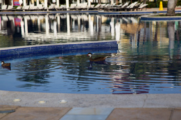 Wild duck am Pool
