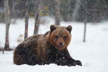 Bear in the snow