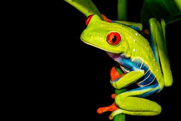 Foto op Plexiglas Kikker Red-eyed Tree Frog (Agalychnis callidryas)