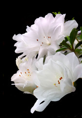 Spoed Foto op Canvas Azalea Three Focused Stacked White Azaleas Isolated on Black
