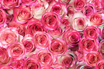 purple, pink roses