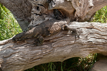 lace lizard  resting on a log