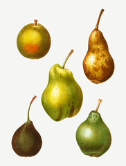 Pear types vintage drawing