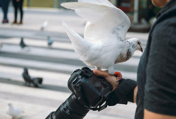 Pigeon eating feed standing on human hand. A Photographer feeds pigeons