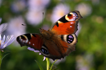 Peacock butterfly. Aglais io.