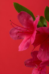 Pink lily  flowers on red background.