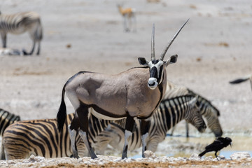 Wild oryx antelope in the African savannah