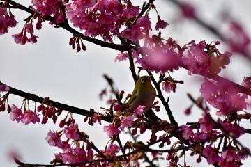 寒緋桜と目白~Cherry Blossom & Japanese white eye.