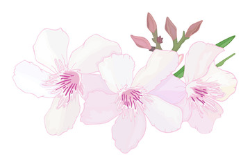 Floral composition with branch of delicate pink blooming flowers, buds and leaves isolated on white background. Tropical flowers oleander, exotic Nerium. Vector illustration