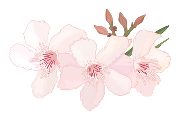 Floral composition with branch of delicate pink blooming flowers, buds and leaves isolated on white background. Tropical flowers oleander, exotic Nerium. illustration