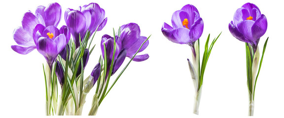 Poster Krokussen Purple crocus flowers isolated on white