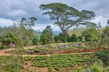 Beautiful vast fields of tea near Adams Peak - Sri Lanka