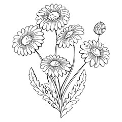 Chamomile flower bouquet graphic black white isolated sketch illustration vector