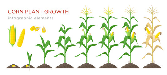 Fototapeta Corn growing stages vector illustration in flat design. Planting process of corn plant. Maize growth from grain to flowering and fruit-bearing plant isolated on white background. Ripe corn and grains.