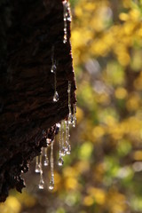 close-up view of leaking drops of pine tar or resin on dark tree bark at springtime