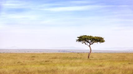 Acacia tree in the Masai Mara
