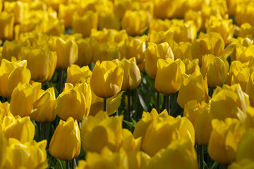 Tulips flowers, herbaceous palnt bloomin in spring.