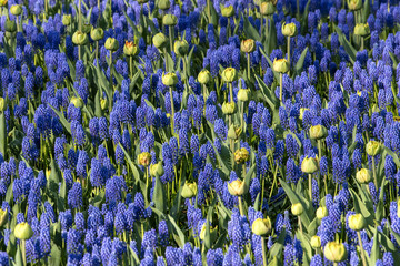 Blue Hyacinthus flowers, just erady to bloom.