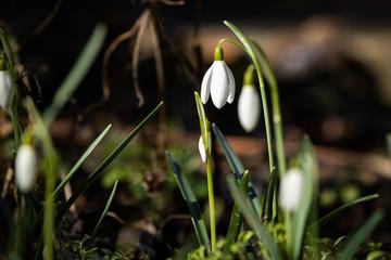 Schneeglöckchen Makro im Garten im Sonnenlicht
