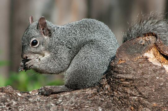 Western Grey Squirrel (Sciurus griseus)..Willamette Valley, Oregon.