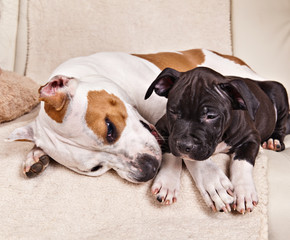 American Staffordshire Terrier puppy sleeping together