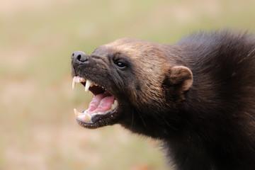 Fototapete - Portrait wild wolverine