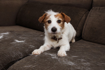 FURRY JACK RUSSELL DOG, SHEDDING HAIR DURING MOLT SEASON PLAYING ON SOFA. Wall mural