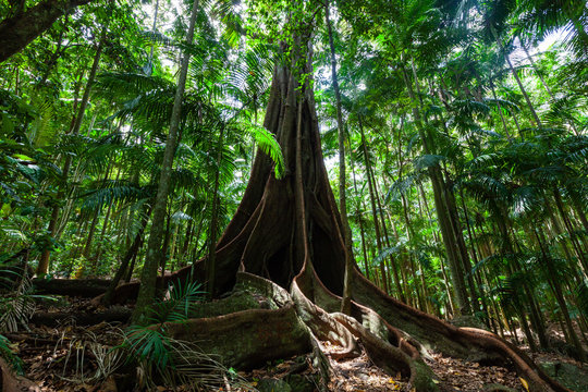 Giant fig tree roots in a rainforest
