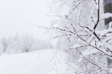 winter background, snow on the branches of a tree in a sunny day
