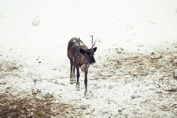 Reindeer in the winter forest