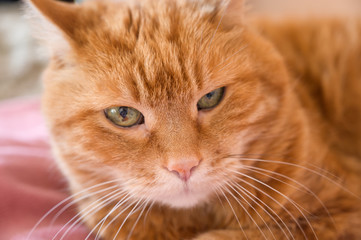 Adorable red cat. Selective focus on nose.