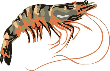 striped tiger shrimp