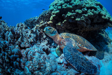 Giant green turtle on underwater background in tropical sea
